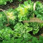 Une salade (sans pesticide ?) amassons et faisons