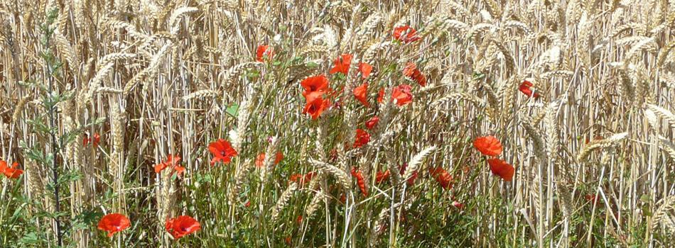 Promenade-dans-les-champs-de-blé-950x350-1
